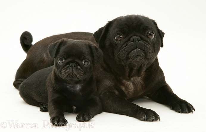 Black pug mother and pup, white background