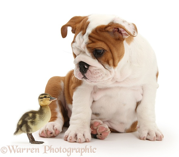 Bulldog pup, 11 weeks old, and Mallard Duckling, white background