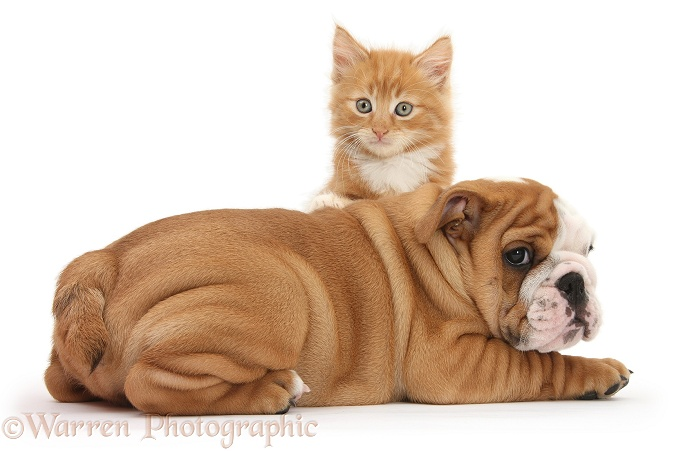 Bulldog pup, 8 weeks old, and ginger kitten, Butch, 7 weeks old, white background