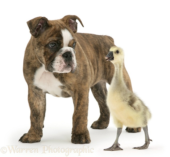 Embden x Greylag Gosling and brindle Bulldog pup, white background