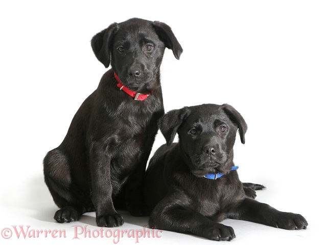 Two Black Labrador Retriever pups, white background