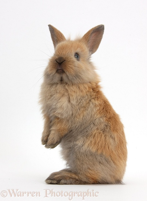 Baby Lionhead x Lop rabbit, standing, white background