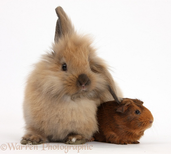 Windmill-eared Lionhead x Lop rabbit and baby Guinea pig, white background