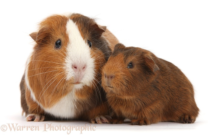 Mother and baby Guinea pig, white background