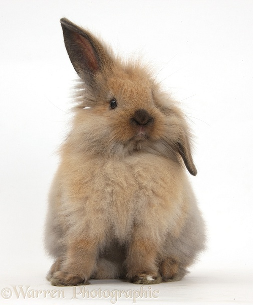 Windmill-eared Lionhead x Lop rabbit, sitting up, white background