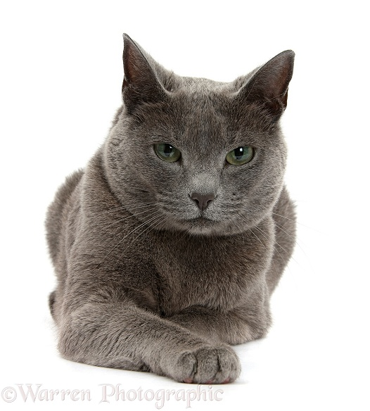 Russian Blue female cat with green eyes, white background