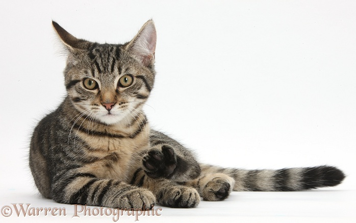 Tabby male kitten, Fosset, 4 months old, lying with his head up, white background