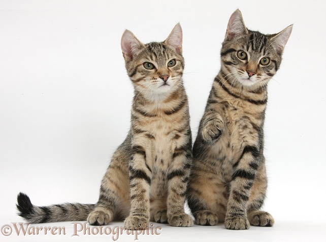 Tabby kittens, Stanley and Fosset, 4 months old, sitting together, white background