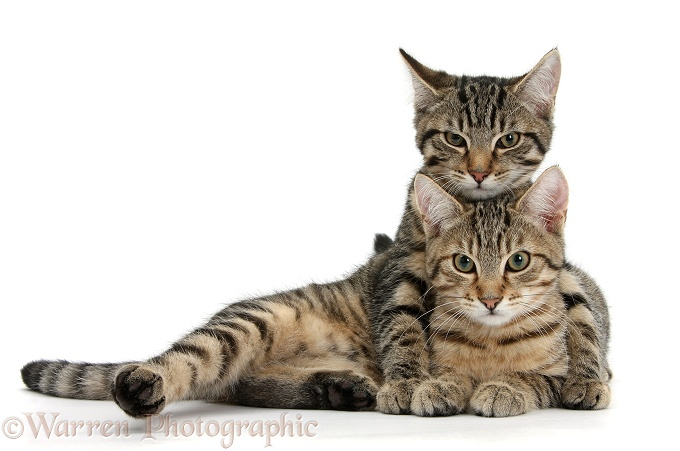 Tabby kittens, Stanley and Fosset, 4 months old, lounging together, white background