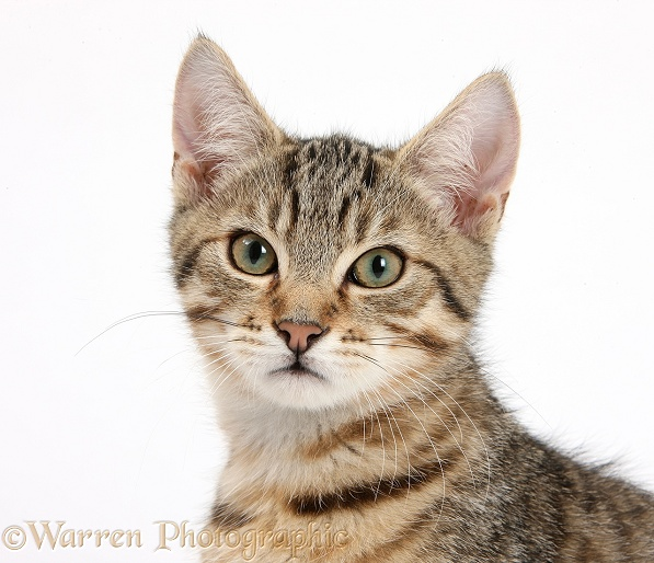 Tabby kitten, Stanley, 3 months old, white background