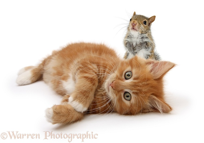 Ginger kitten, Butch, 8 weeks old, lying on his side with young Grey Squirrel (Sciurus carolinensis), white background
