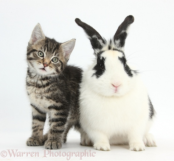 Tabby kitten, Fosset, 8 weeks old, and black-and-white rabbit, Bandit, white background