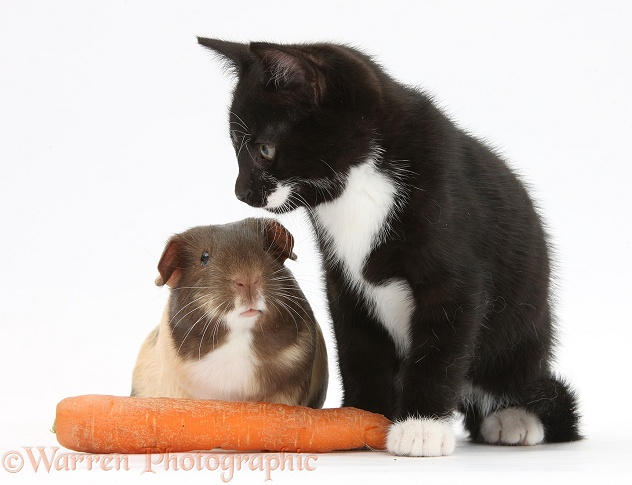 Black-and-white tuxedo male kitten, Tuxie, 9 weeks old, with tricolour Guinea pig and carrot, white background