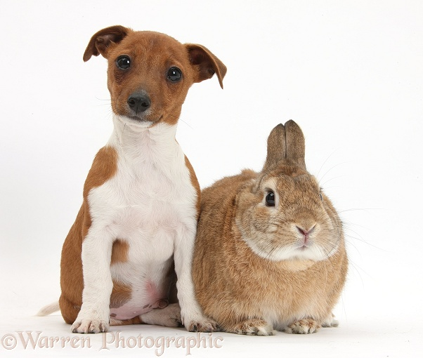 Jack Russell Terrier x Chihuahua pup, Nipper, with Netherland-cross rabbit, Peter, white background