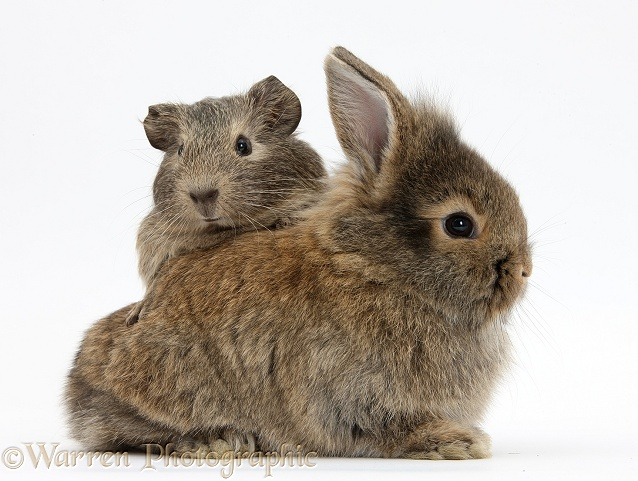 Baby agouti bunny and Guinea pig, white background