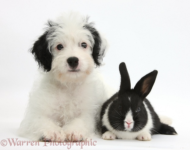 Jack-a-poo (Poodle x Jack Russell Terrier) bitch pup, Pukka, 10 weeks old, with black-and-white baby rabbit, white background