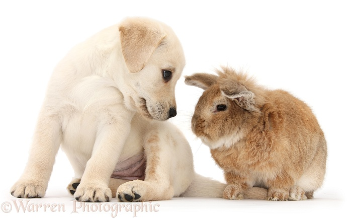 Yellow Labrador Retriever puppy, 8 weeks old, with Lionhead-cross rabbit, Tedson, white background