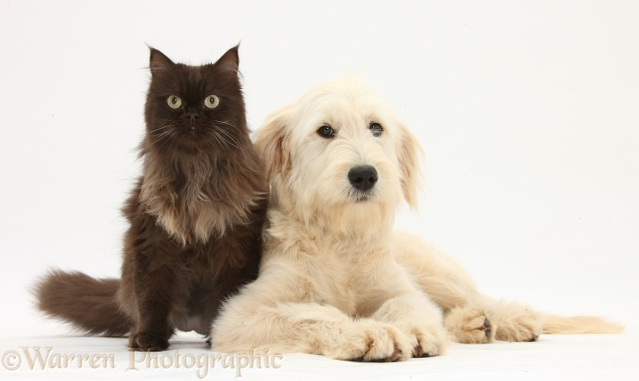 Goldendoodle bitch, Jasmine, 6 months old, and chocolate cat, Chanel, white background