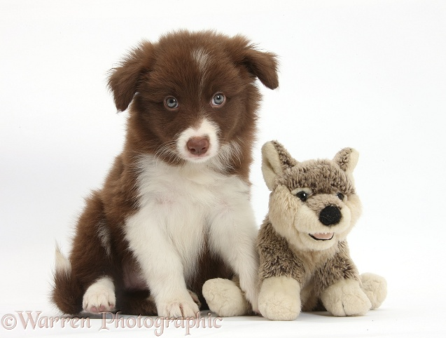 Chocolate Border Collie pup and wolf soft toy, white background