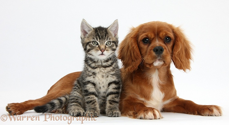 Tabby kitten, Fosset, 8 weeks old, with Ruby Cavalier King Charles Spaniel bitch, Star, white background