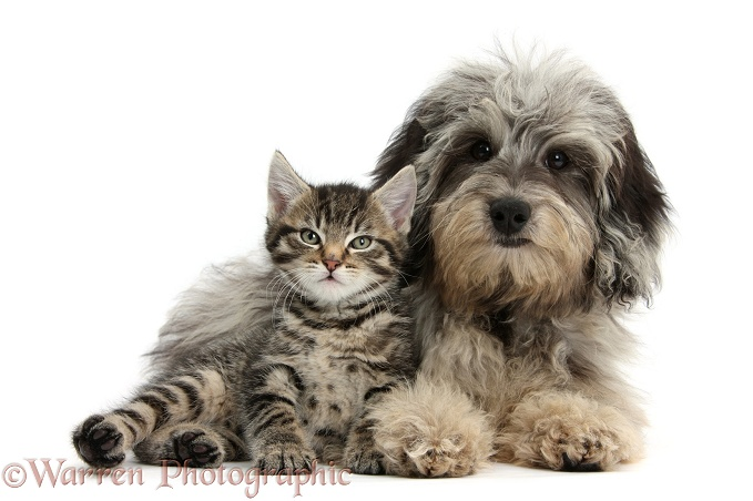 Tabby kitten, Fosset, 8 weeks old, with fluffy black-and-grey Daxie-doodle pup, Pebbles, white background