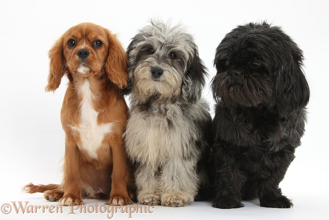 Fluffy black-and-grey Daxie-doodle pup, Pebbles, with ruby Cavalier King Charles Spaniel pup, Star, and black Shih-tzu, white background