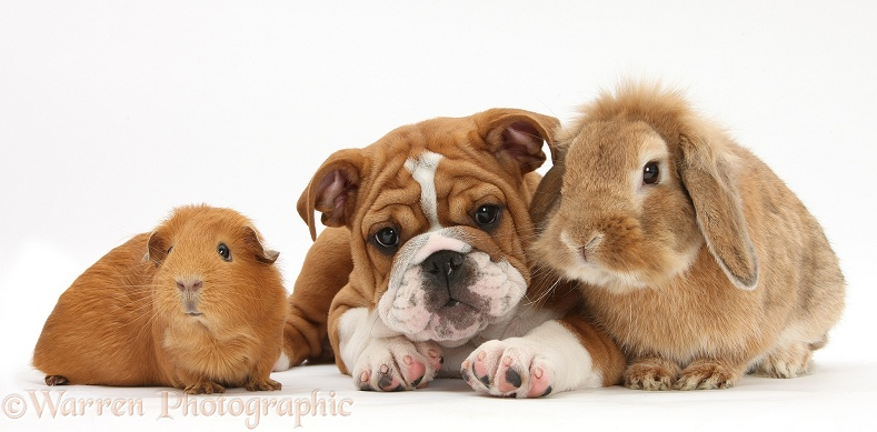 Bulldog pup, 11 weeks old, with Sandy Lop rabbit, and red Guinea pig, white background