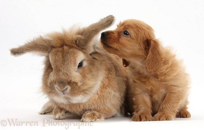 Red Daxie-doodle pup, 6 weeks old, and Lionhead-cross rabbit, Tedson, white background