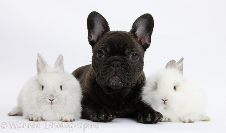 Dark brindle French Bulldog pup, Bacchus, 9 weeks old, with white baby rabbits, white background