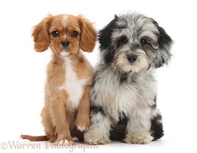 Fluffy black-and-grey Daxie-doodle pup, Pebbles, with ruby Cavalier King Charles Spaniel pup, Star, white background