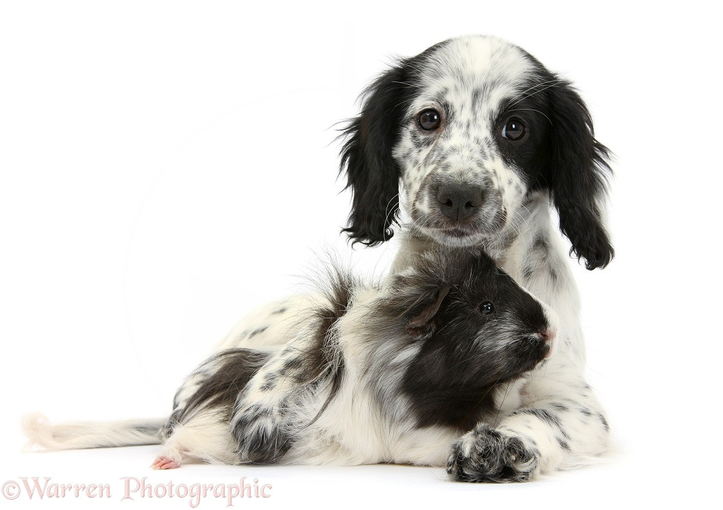 Black-and-white Border Collie x Cocker Spaniel puppy, 11 weeks old, with matching Guinea pig, white background