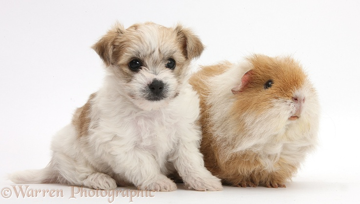 WP36078 Bichon Frisé x Yorkshire Terrier pup, 6 weeks old, and shaggy ...