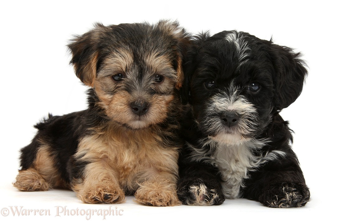 Yorkipoo pups, 7 weeks old, white background