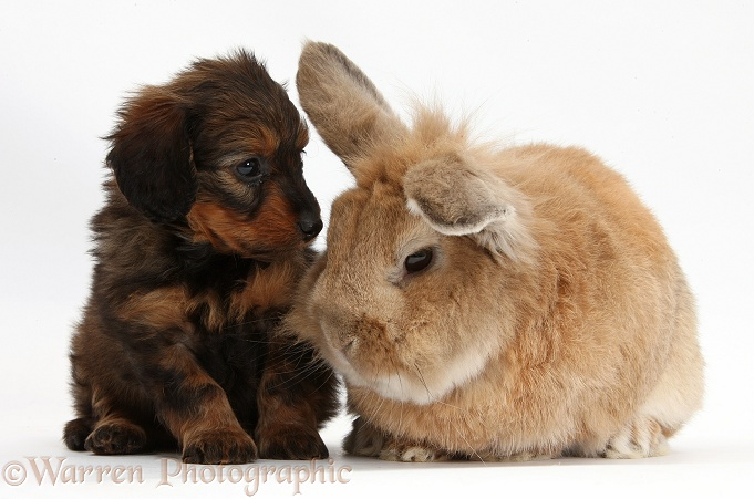 Red-and-black merle Daxie-doodle pup, 6 weeks old, and Lionhead-cross rabbit, Tedson, white background