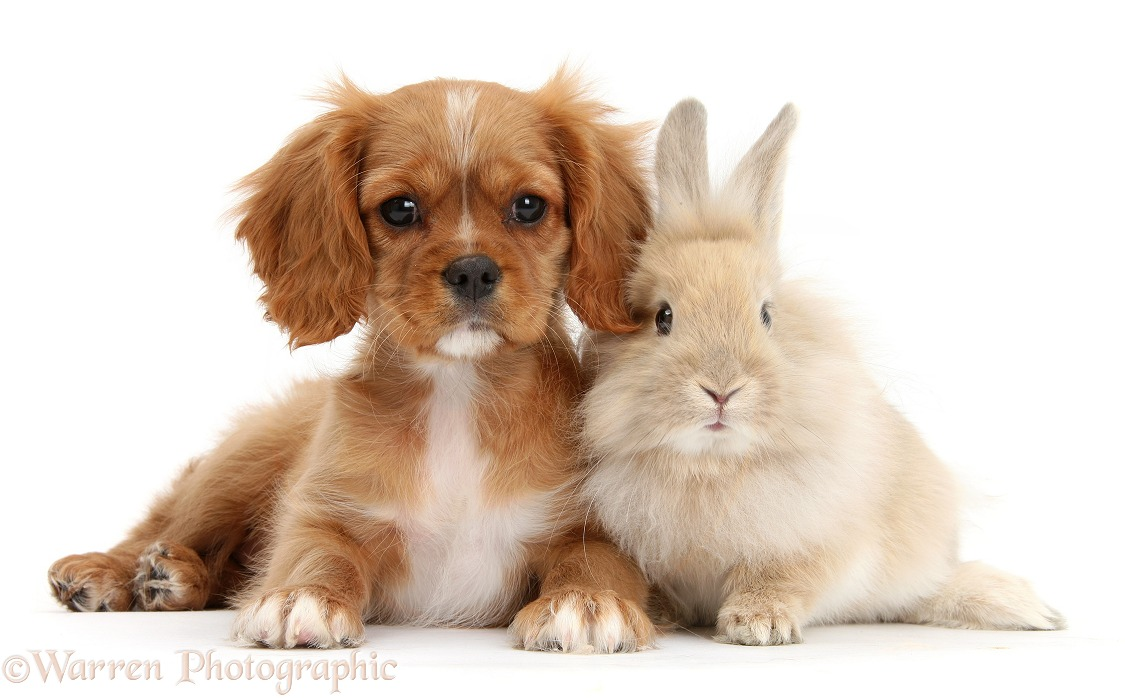 Cavalier King Charles Spaniel pup, Star, with Sandy rabbit, white background
