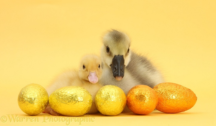 Embden x Greylag Gosling and yellow Call Duckling with Easter eggs on yellow background