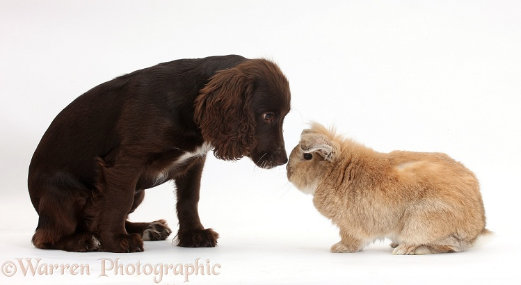 Chocolate Cocker Spaniel pup, Jeff, 4 months old, nose to nose with Lionhead-cross rabbit, Tedson, white background