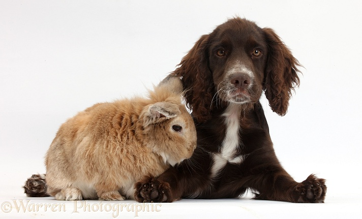 Chocolate Cocker Spaniel pup, Jeff, 4 months old, with Lionhead-cross rabbit, Tedson, white background