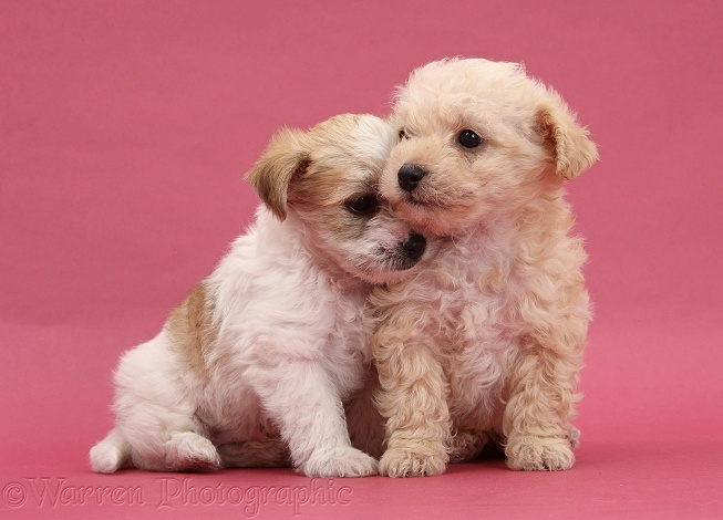 Bichon Frise x Yorkshire Terrier pups, 6 weeks old, kissing on pink background