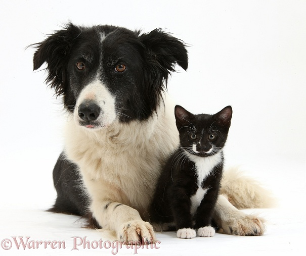 Black-and-white Border Collie bitch, Phoebe, with black-and-white tuxedo male kitten, Tuxie, 8 weeks old, white background