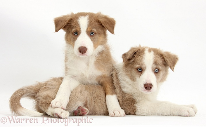 Two Lilac Border Collie pups, one paws over the other, white background