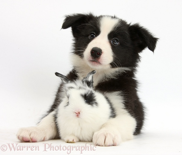 Black-and-white Border Collie pup and baby bunny, Bandit, white background