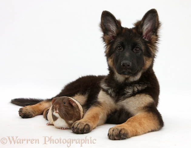 German Shepherd Dog bitch pup, Coco, 14 weeks old, with a Guinea pig, white background