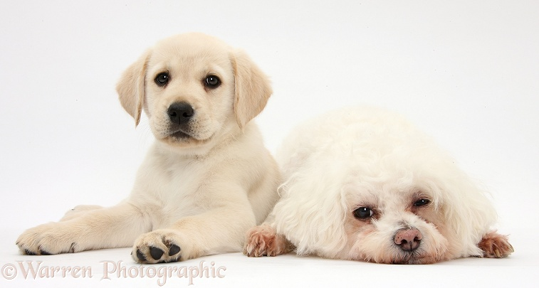 Sleepy Bichon Frise bitch, Poppy, with Yellow Labrador Retriever puppy, 8 weeks old, white background