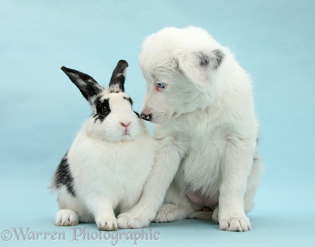 Mostly white Border Collie pup, Gracie, 8 weeks old, with black-and-white rabbit, Bandit, on blue background
