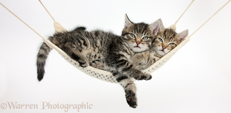 Two cute tabby kittens, Stanley and Fosset, 7 weeks old, lying in a hammock, white background