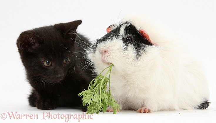 Black male kitten, Buxie, 8 weeks old, and black-and-white Guinea pig eating parsley, white background