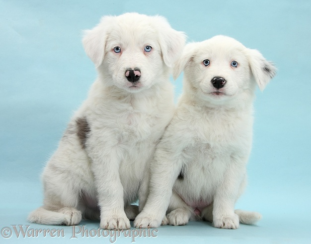 Mostly white Border Collie pups, Dash and Gracie, 8 weeks old, on blue background. One is unilaterally deaf and the other half deaf