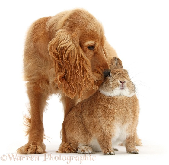 Golden Cocker Spaniel, Sadie, 6 months old, with sandy Netherland-cross rabbit, Peter, white background