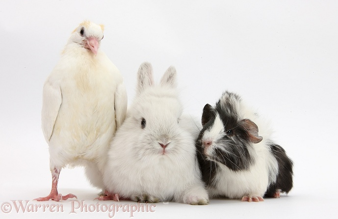 White dove, rabbit and black-and-white Guinea pig, white background